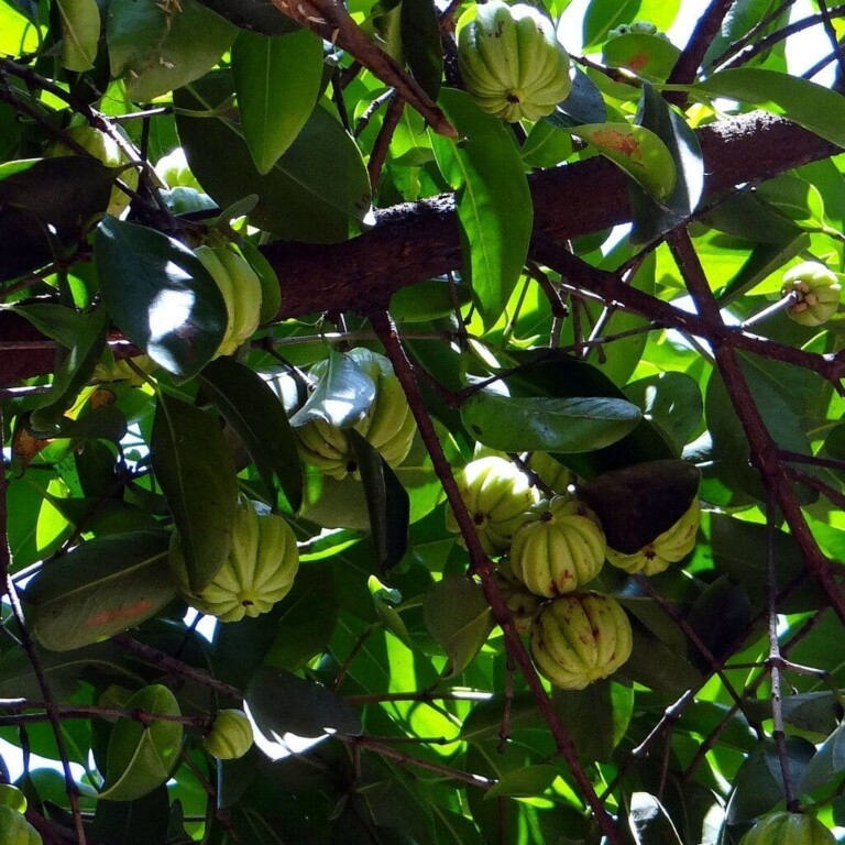 Garcinia Cambogia tree fruit 01