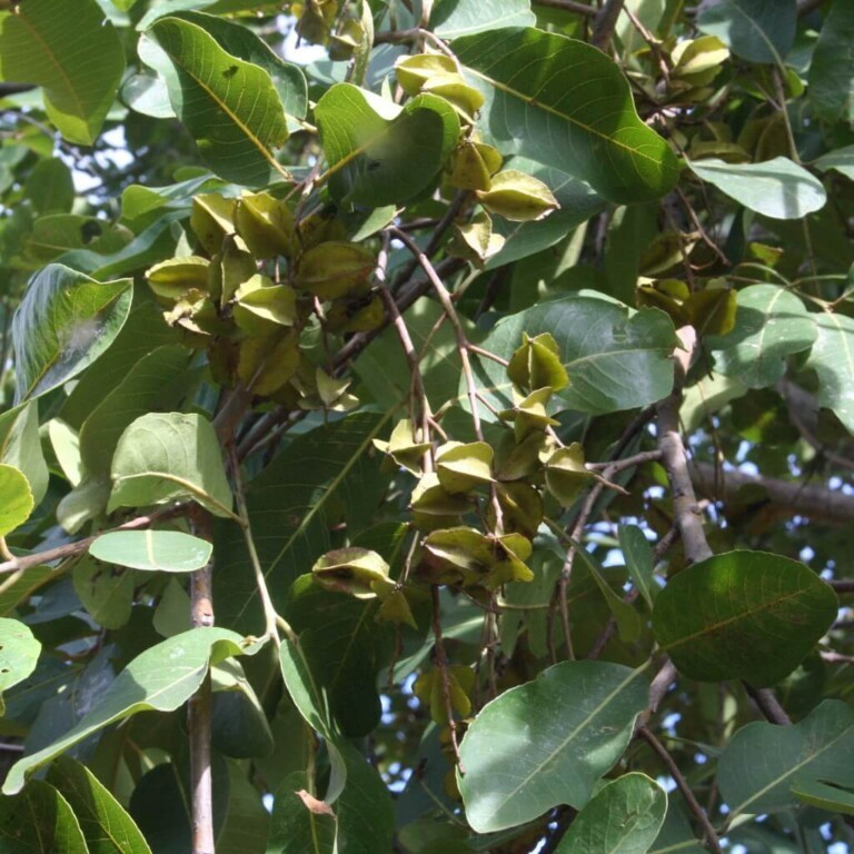 Terminalia Arjuna boom met fruit (Arjun tree with fruits)