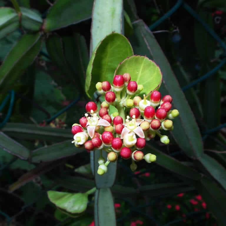 Cissus Quadrangularis, Hadjod, Veldt Grape, Pirandai