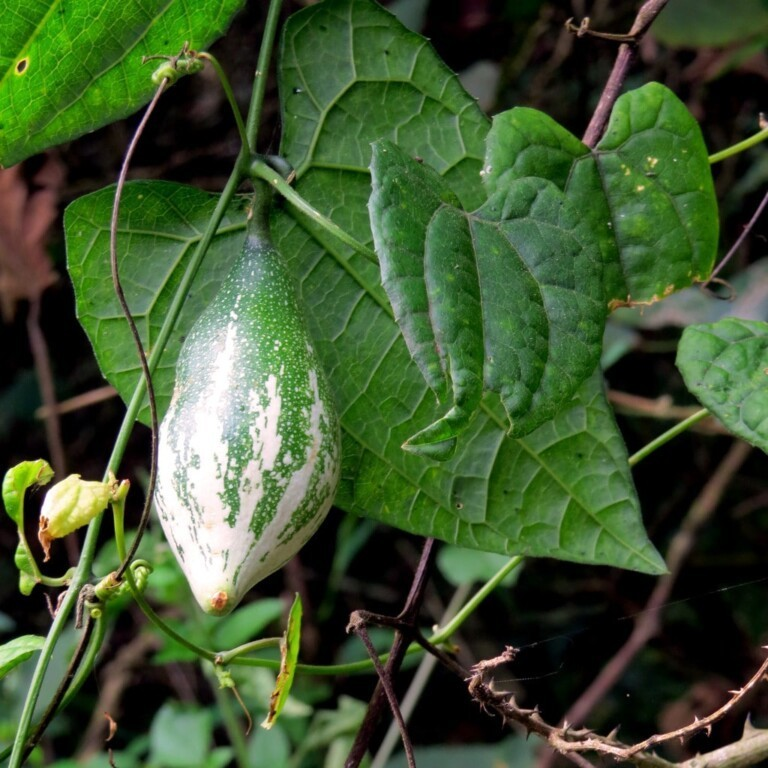 Trichosanthes Dioica plant (Puntige Kalebas, Pointed Gourd, Patol, Parval)